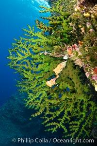 Green fan coral, extending into ocean currents where tiny polyps gather passing plankton, Fiji, Vatu I Ra Passage, Bligh Waters, Viti Levu Island