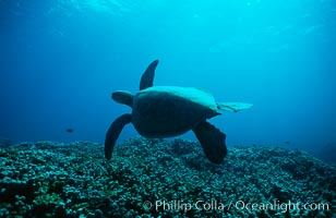 Green sea turtle. Maui, Hawaii, USA, Chelonia mydas, natural history stock photograph, photo id 00315