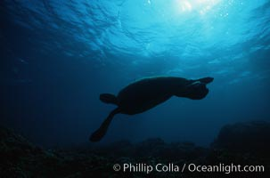 Green sea turtle, Chelonia mydas, Maui