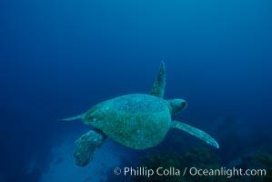 Green sea turtle, Islas San Benito, Chelonia mydas, San Benito Islands (Islas San Benito)