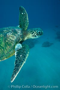 Green sea turtle exhibiting fibropapilloma tumors, West Maui, Chelonia mydas