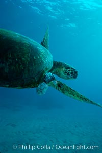Green sea turtle exhibiting fibropapilloma tumors, West Maui. Maui, Hawaii, USA, Chelonia mydas, natural history stock photograph, photo id 02841
