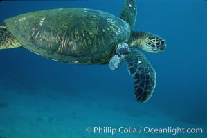 Green sea turtle exhibiting fibropapilloma tumors, West Maui. Maui, Hawaii, USA, Chelonia mydas, natural history stock photograph, photo id 02842