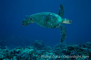 Green sea turtle, West Maui. Maui, Hawaii, USA, Chelonia mydas, natural history stock photograph, photo id 02844