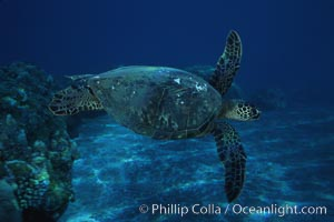Green sea turtle, West Maui, Chelonia mydas