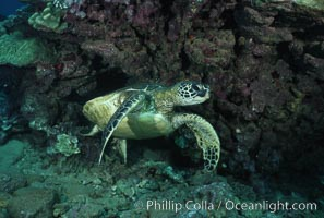 Green sea turtle, West Maui. Maui, Hawaii, USA, Chelonia mydas, natural history stock photograph, photo id 02849