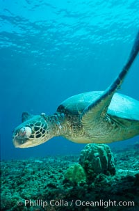Green sea turtle exhibiting fibropapilloma tumor on left eye and neck, West Maui, Chelonia mydas