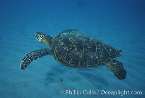 Green sea turtle, Maui Hawaii, Chelonia mydas