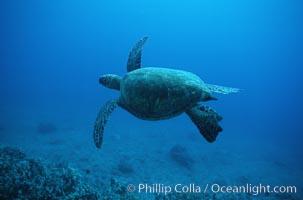 Green sea turtle, Chelonia mydas, Maui