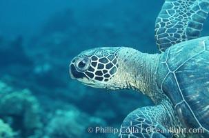 Green sea turtle. Maui, Hawaii, USA, Chelonia mydas, natural history stock photograph, photo id 05678