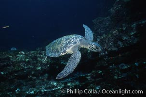 Green sea turtle. Galapagos Islands, Ecuador, Chelonia mydas, natural history stock photograph, photo id 05679