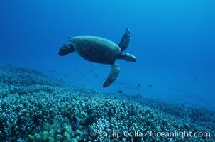 Green sea turtle. Maui, Hawaii, USA, Chelonia mydas, natural history stock photograph, photo id 05682