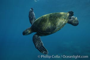 Green sea turtle. Maui, Hawaii, USA, Chelonia mydas, natural history stock photograph, photo id 05684