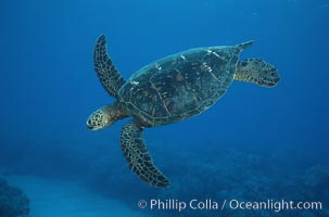 Green sea turtle. Maui, Hawaii, USA, Chelonia mydas, natural history stock photograph, photo id 05685