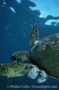 Green sea turtle exhibiting fibropapilloma tumors, West Maui, Chelonia mydas