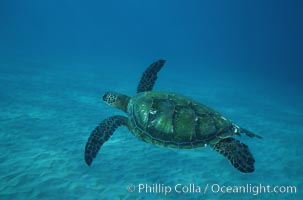 Green sea turtle. Maui, Hawaii, USA, Chelonia mydas, natural history stock photograph, photo id 05689
