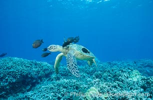 Green sea turtle being cleaned by reef fish. Maui, Hawaii, USA, Chelonia mydas, natural history stock photograph, photo id 05698