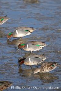 Green-winged teals, female (foreground) and males, forage in mud flats, Anas crecca, Upper Newport Bay Ecological Reserve, Newport Beach, California