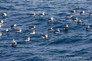 Gray-headed albatross, floating on the ocean, Thalassarche chrysostoma