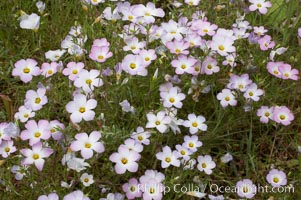 Ground pink blooms in spring, Batiquitos Lagoon, Carlsbad, Linanthus dianthiflorus