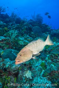 Grouper on coral reef, Grand Cayman Island. Grand Cayman, Cayman Islands, natural history stock photograph, photo id 32172