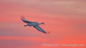 Sandhill crane in flight, sunset, Grus canadensis, Bosque Del Apache, Socorro, New Mexico