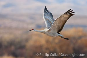 Sandhill crane in flight, wings extended, flying in front of the Chupadera Mountain Range, Grus canadensis, Bosque Del Apache, Socorro, New Mexico