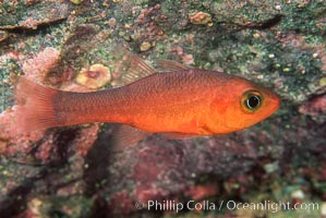 Guadalupe cardinalfish, Apogon guadalupensis, Guadalupe Island (Isla Guadalupe)