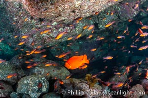 Guadalupe cardinalfish (and a lone orange garibaldi), typically schooling together in the shadow of a rock ledge, Apogon guadalupensis, Guadalupe Island (Isla Guadalupe)