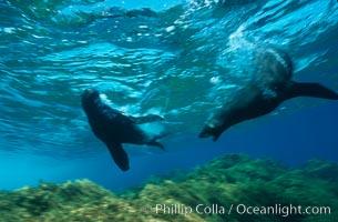 Guadalupe fur seal. Guadalupe Island (Isla Guadalupe), Baja California, Mexico, Arctocephalus townsendi, natural history stock photograph, photo id 02374