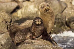 Guadalupe fur seal mother and pup, Arctocephalus townsendi, Guadalupe Island (Isla Guadalupe)