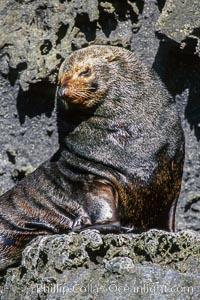 Guadalupe fur seal, adult male in territorial posture. Guadalupe Island (Isla Guadalupe), Baja California, Mexico, Arctocephalus townsendi, natural history stock photograph, photo id 03382