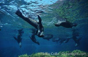 Guadalupe fur seals, Arctocephalus townsendi, Guadalupe Island (Isla Guadalupe)