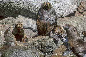 Adult male Guadalupe fur seal with females and pups, Arctocephalus townsendi, Guadalupe Island (Isla Guadalupe)