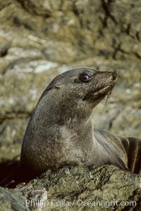 Guadalupe fur seal, juvenile, Arctocephalus townsendi, Guadalupe Island (Isla Guadalupe)