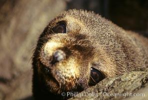 Guadalupe fur seal, pup, Arctocephalus townsendi, Guadalupe Island (Isla Guadalupe)