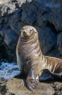 Guadalupe fur seal, Arctocephalus townsendi, Guadalupe Island (Isla Guadalupe)