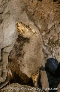 Guadalupe fur seal, San Benito Islands. San Benito Islands (Islas San Benito), Baja California, Mexico, Arctocephalus townsendi, natural history stock photograph, photo id 02105