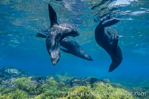 Guadalupe fur seals, floating upside down underwater over a rocky reef covered with golden kelp at Guadalupe Island, Arctocephalus townsendi, Guadalupe Island (Isla Guadalupe)