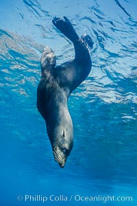 Guadalupe fur seal, floating upside down under the ocean's surface at Guadalupe Island, watching the photographer and looking for passing predators, Arctocephalus townsendi, Guadalupe Island (Isla Guadalupe)