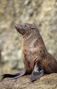 Guadalupe fur seal, Islas San Benito, Arctocephalus townsendi, San Benito Islands (Islas San Benito)