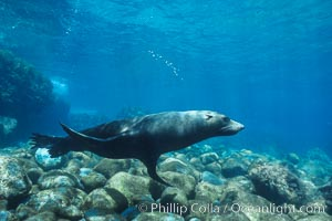 Guadalupe fur seal. Guadalupe Island (Isla Guadalupe), Baja California, Mexico, Arctocephalus townsendi, natural history stock photograph, photo id 02363