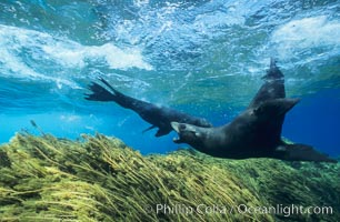 Territorial male Guadalupe fur seal threatening another intruding seal. Guadalupe Island (Isla Guadalupe), Baja California, Mexico, Arctocephalus townsendi, natural history stock photograph, photo id 02372