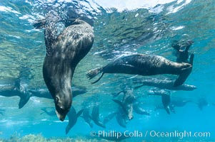 A group of juvenile and female Guadalupe fur seals rest and socialize over a shallow, kelp-covered reef.  K9726. Guadalupe Island (Isla Guadalupe), Baja California, Mexico, Arctocephalus townsendi, natural history stock photograph, photo id 09676