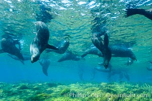 A group of juvenile and female Guadalupe fur seals rest and socialize over a shallow, kelp-covered reef.  During the summer mating season, a single adjult male will form a harem of females and continually patrol the underwater boundary of his territory, keeping the females near and intimidating other males from approaching, Arctocephalus townsendi, Guadalupe Island (Isla Guadalupe)
