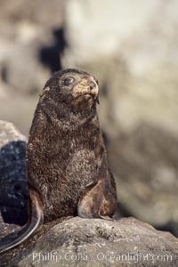 Guadalupe fur seal pup, Arctocephalus townsendi, Guadalupe Island (Isla Guadalupe)