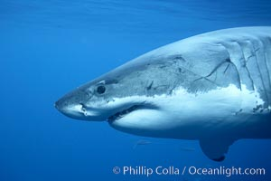 Great white shark, underwater. Guadalupe Island (Isla Guadalupe), Baja California, Mexico, Carcharodon carcharias, natural history stock photograph, photo id 21424