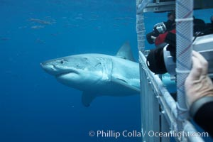 Great white shark passes by a shark cage as divers videotape and photograph the shark, Carcharodon carcharias, Guadalupe Island (Isla Guadalupe)