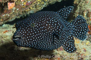 Guineafowl puffer fish, black phase, Isla San Diego, Baja California, Mexico