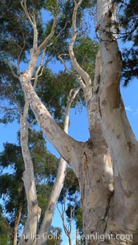 Eucalyptus tree, gum tree. Del Mar, California, USA, Eucalyptus, natural history stock photograph, photo id 21490